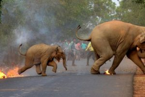 SC Restrains West Bengal From Processing Tenders for Fire Torches to Protect Elephants