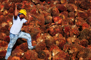 How 'Dirty' is India's Palm Oil and What Should We Do About It?