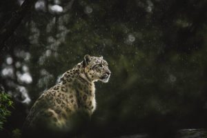The Government Can't Help the Northeast Without Also Helping the Snow Leopard
