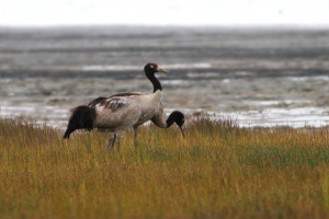 After Skipping 2017 Visit, Black-Necked Cranes Spotted in Arunachal
