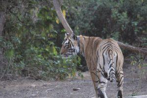 Mining Suspended in 10-km-Wide Zone Around Sariska Tiger Reserve