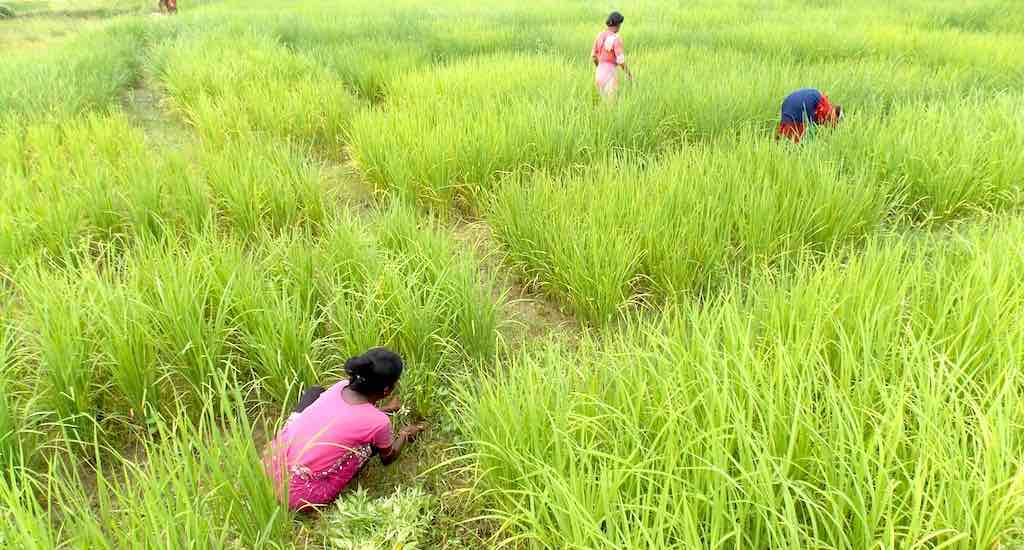 Fighting Against Climate Vagaries, Bengal Farmers Practice ...
