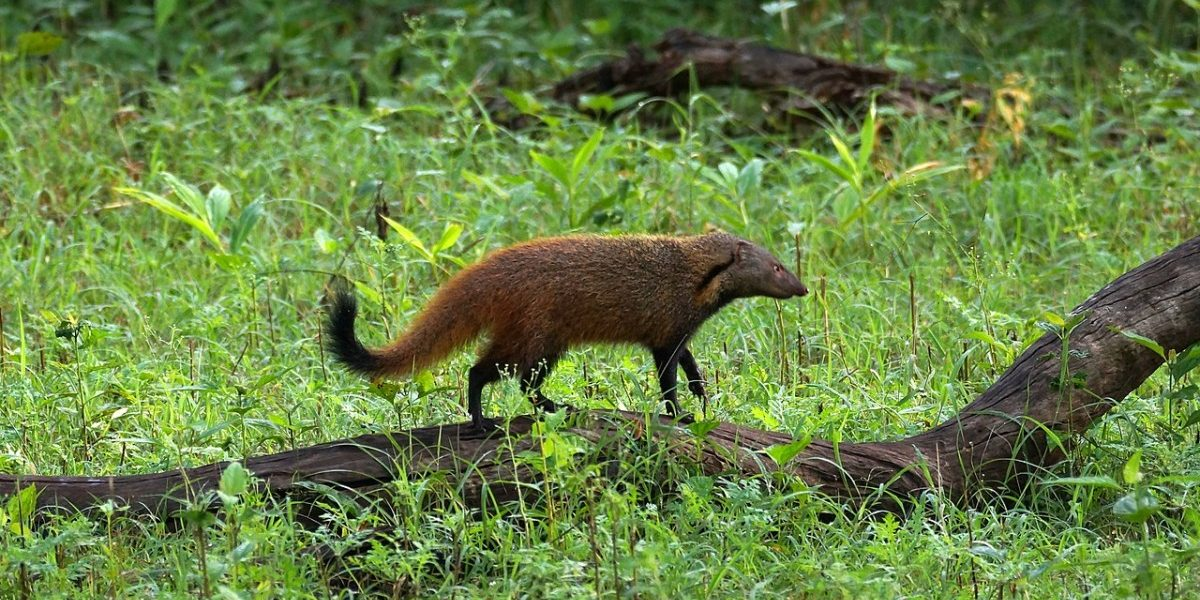 As Trade in Mongoose Hair Burgeons, Officials Rush to Cut off Supply