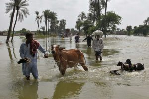 Why Livestock Insurance Is yet to Take off in Rural India