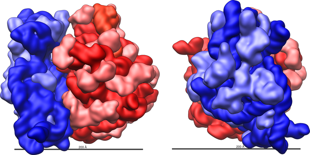 The 70S ribosome in Escherichia coli bacteria, shown from different angles. The 70S has two subunits – the larger 50S subunit shown in red and the smaller 30S subunit, in blue. Credit: Vossman/Wikimedia Commons, CC BY-SA 3.0