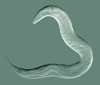 An adult hermaphrodite C. elegans. Credit: Bob Goldstein, UNC Chapel Hill/Wikimedia Commons, CC BY-SA 3.0
