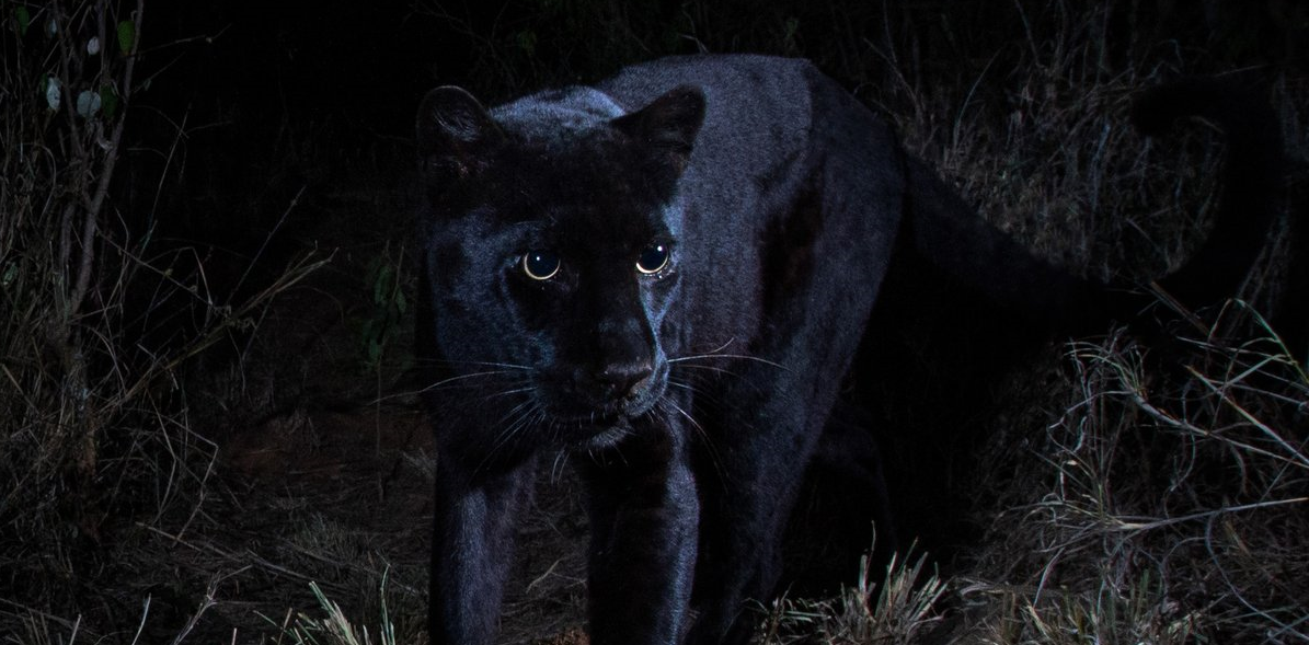 After Almost 100 Years, Black Leopard Documented in Africa
