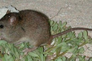 Climate Change and an Extinct Mouse: Lessons for the Himalayas