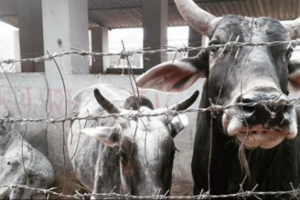 Cows Won Big in UP Budget, Here's How It's Playing out in Bundelkhand Today