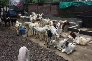 Sheep and Goat Farmers Left Without Fodder in Drought-Hit Marathwada