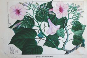 A Journey Through Botanical Art in Colonial India – and Beauty