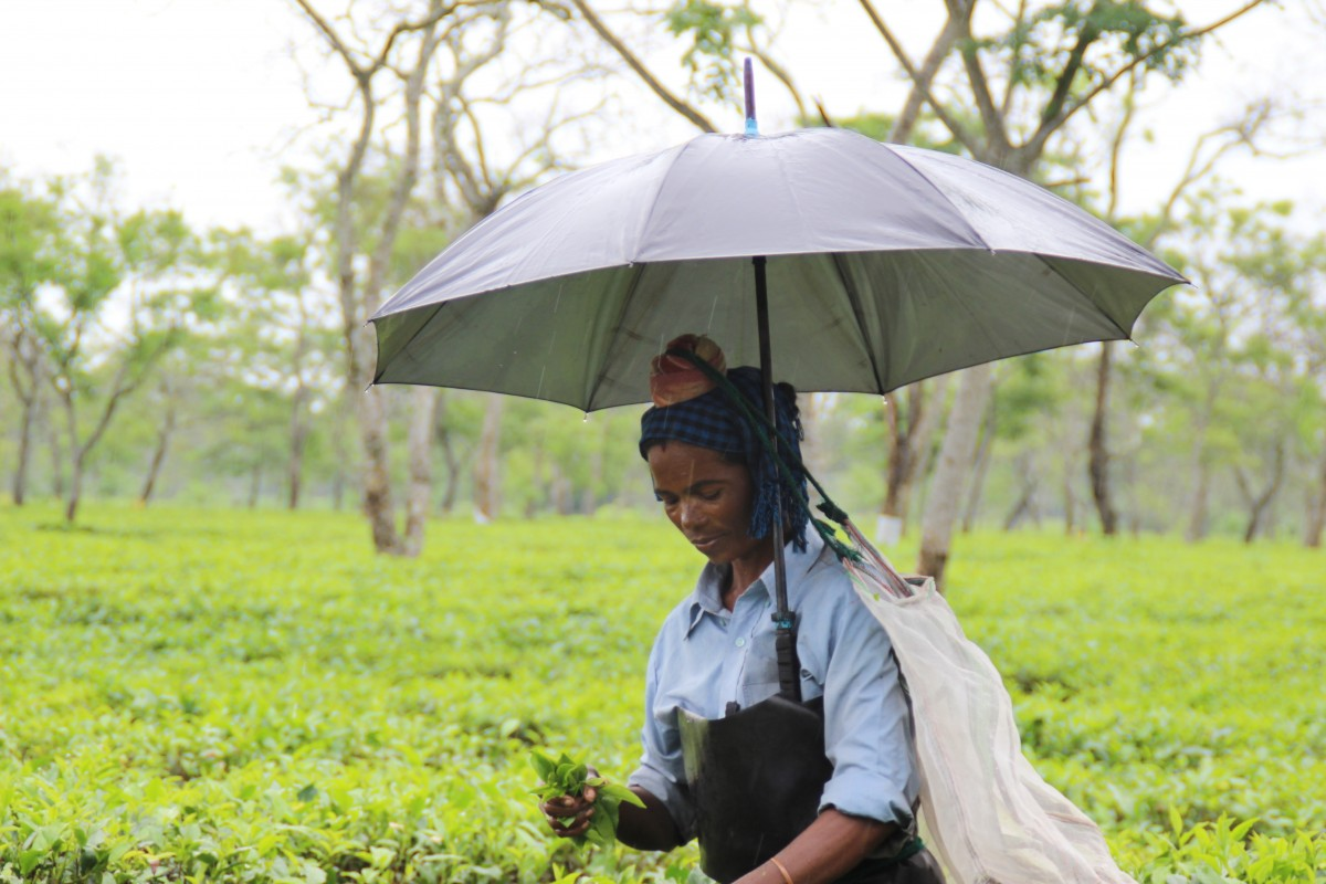 A tea plantation worker in Assam plucks leave while it rains. Credit: Nazdeek