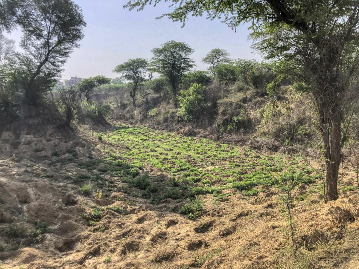 Newly planted valley in Dera Mandi. Credit: Pradip Krishen