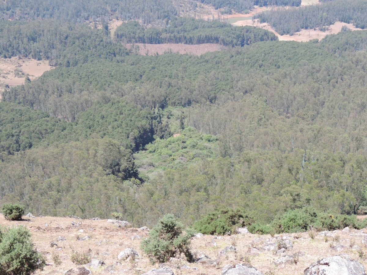 Many of the remaining shola patches have been surrounded and fenced in by the eucalyptus trees. Credit: Renuka Kulkarni