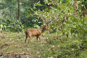 The Barking Deer Enigma