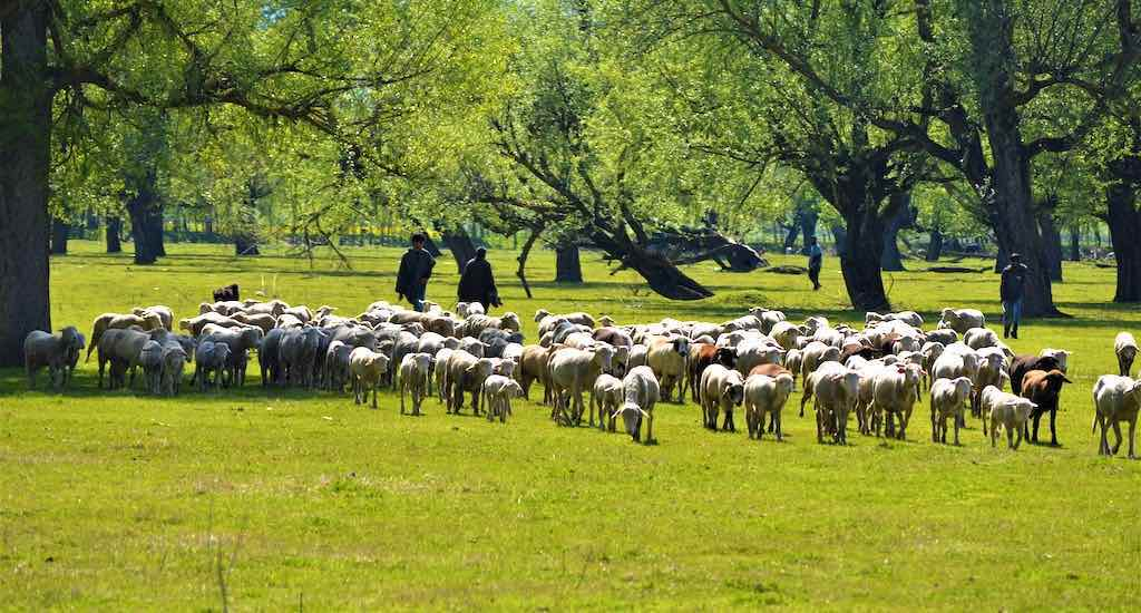 With Meticulous Care, Sheepherders Conserve Quality of Kashmir Merino Stock