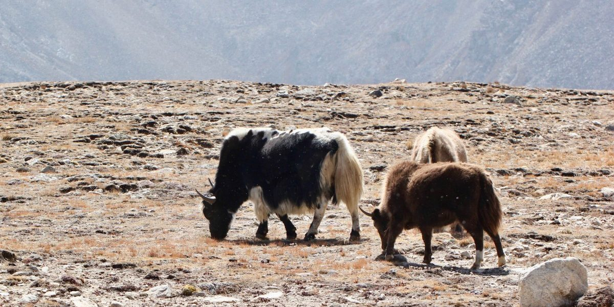 Over 300 Yaks Starve to Death Due to Heavy Snowfall in North Sikkim
