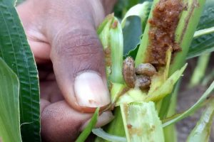 Fall Army Worm Outbreak Wreaks Havoc in Maize Fields of Mizoram