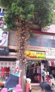 A cannon ball tree in bloom on the busy market road in Malleswharam. Credit: Harini Nagendra and Seema Mundoli