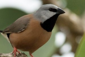 Adani's Management Plan for the Endangered Black-Throated Finch Stands Approved