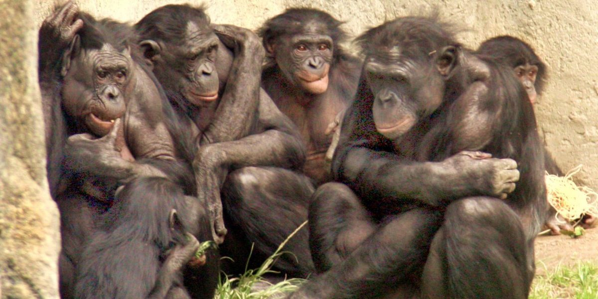 How Bonobo Mums Are Committed to Improving Their Sons' Sex Lives