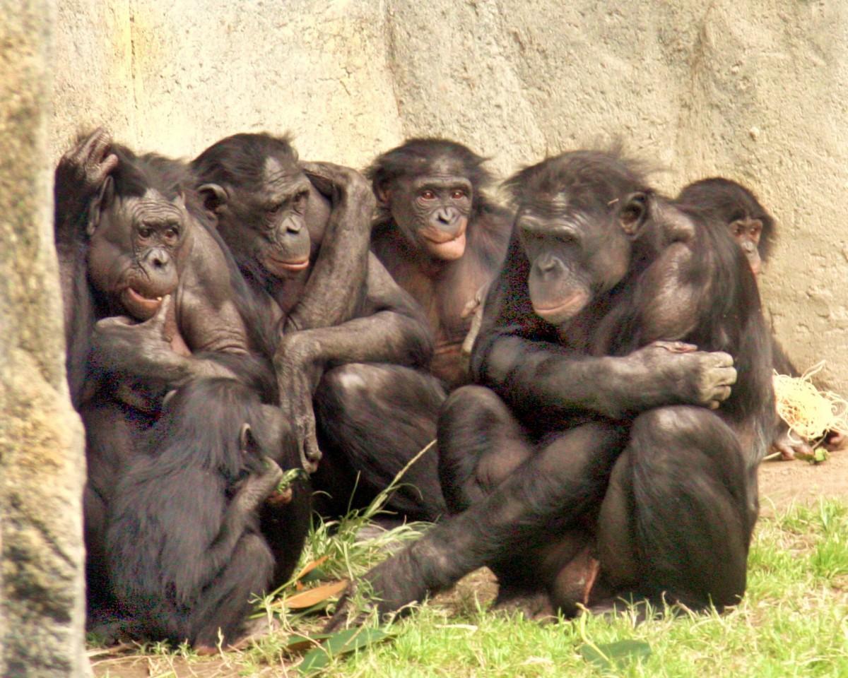 bonobos, chimpanzees, sex life, animal mating, cultural knowledge, menopause, patriarchy, matriarchy, philopatric, primatology, Homo sapiens, orcas,