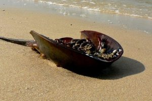 Renewed Efforts to Save Horseshoe Crabs Give Imperilled Species Lease of Life
