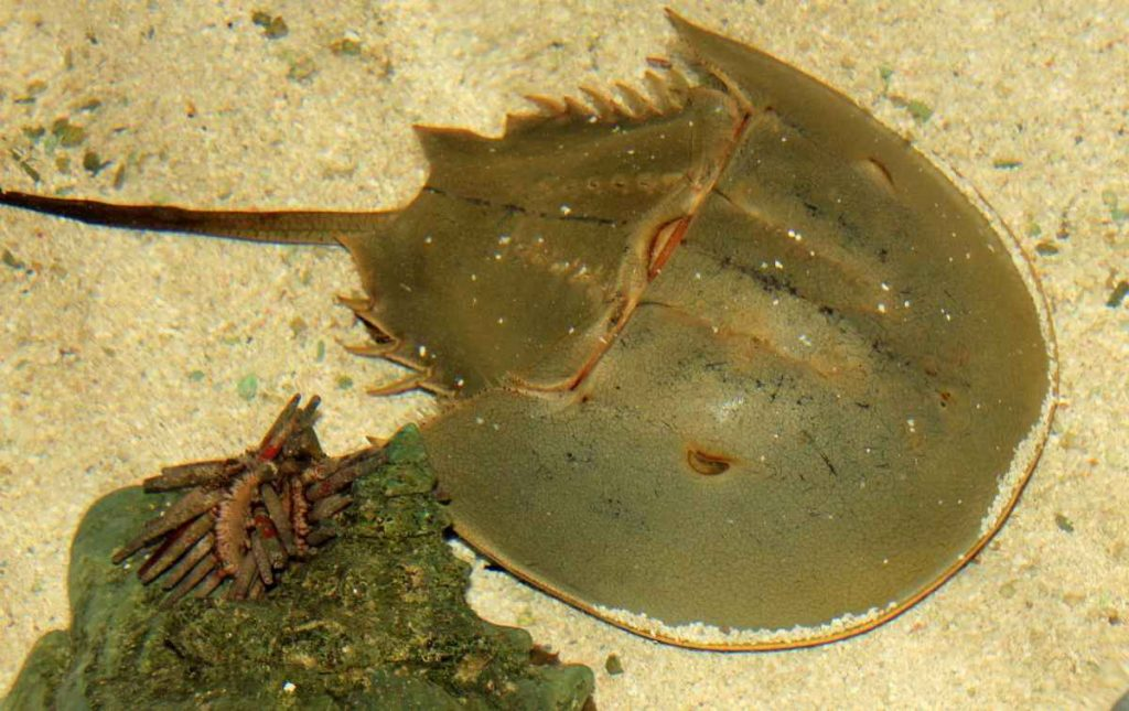 In a sea ranching project launched in 2017 by the horseshoe crab research group, around 50,000 juveniles raised in the laboratories were released in the two years since the project's inception. Source: Pixabay