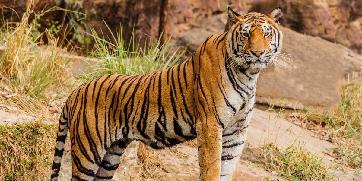 Karnataka's Sixth Tiger Reserve Is Emerging Where Dacoits Once Roamed