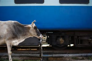 Railway Tracks Continue to be Hazardous Zones for India's Cattle