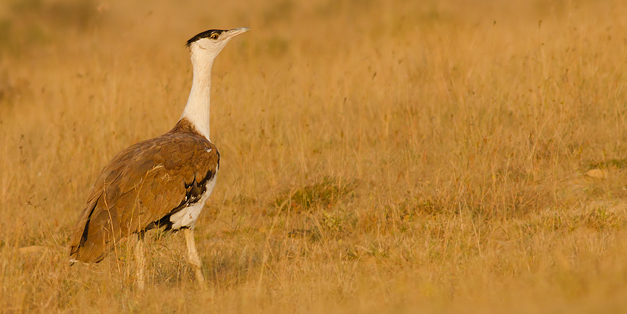 Karnataka HC Doubts Expertise of Committee To Protect Great Indian Bustards – The Wire Science