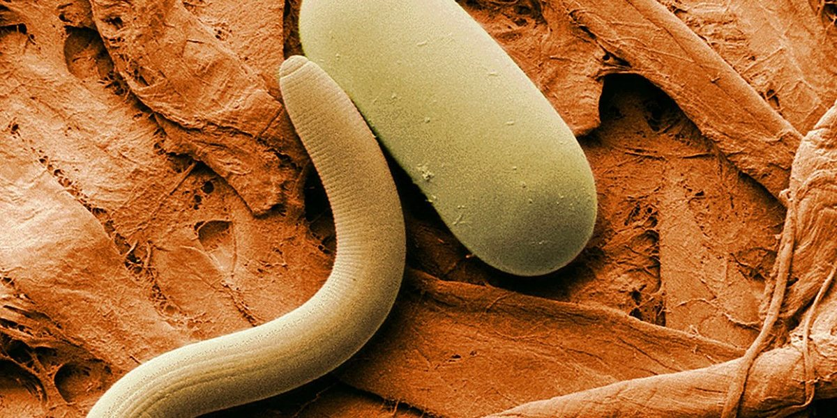 We Know Roundworms Inherit Knowledge. Now We're Starting to Find Out How.