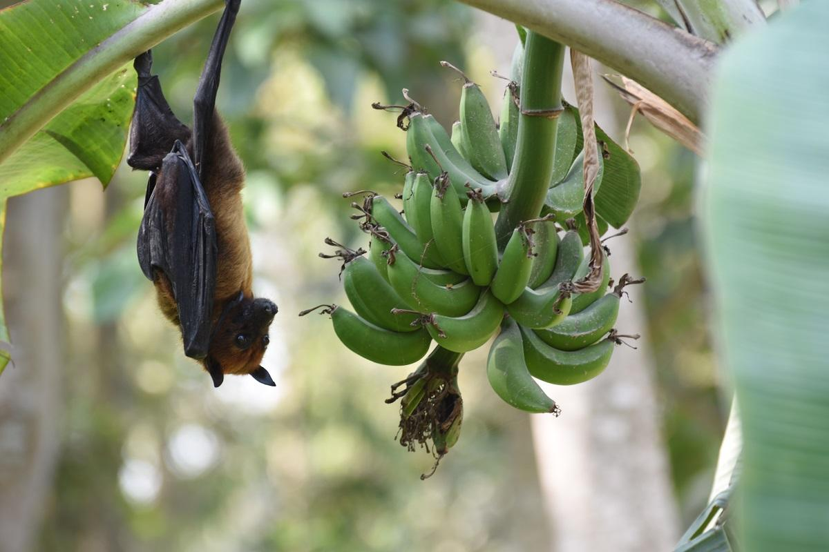 COVID-19 Reignites a Contentious Debate Over Bats and Disease thumbnail