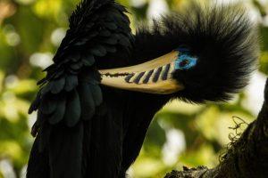 The Hornbills of Latpanchar