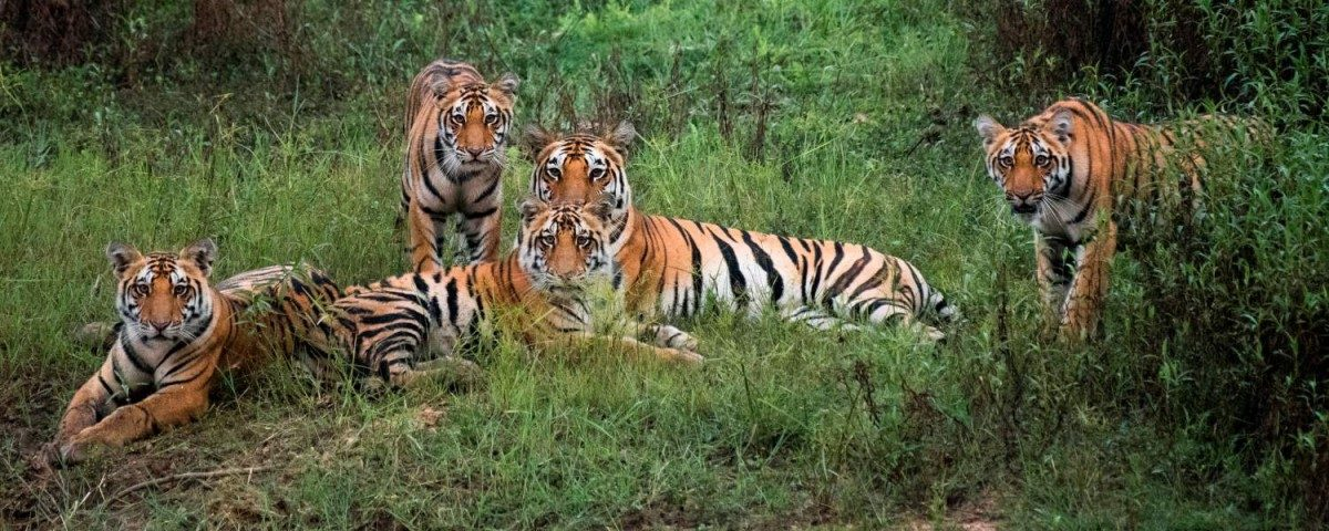 On International Tiger Day, India Awaits Good News From Counting Exercise