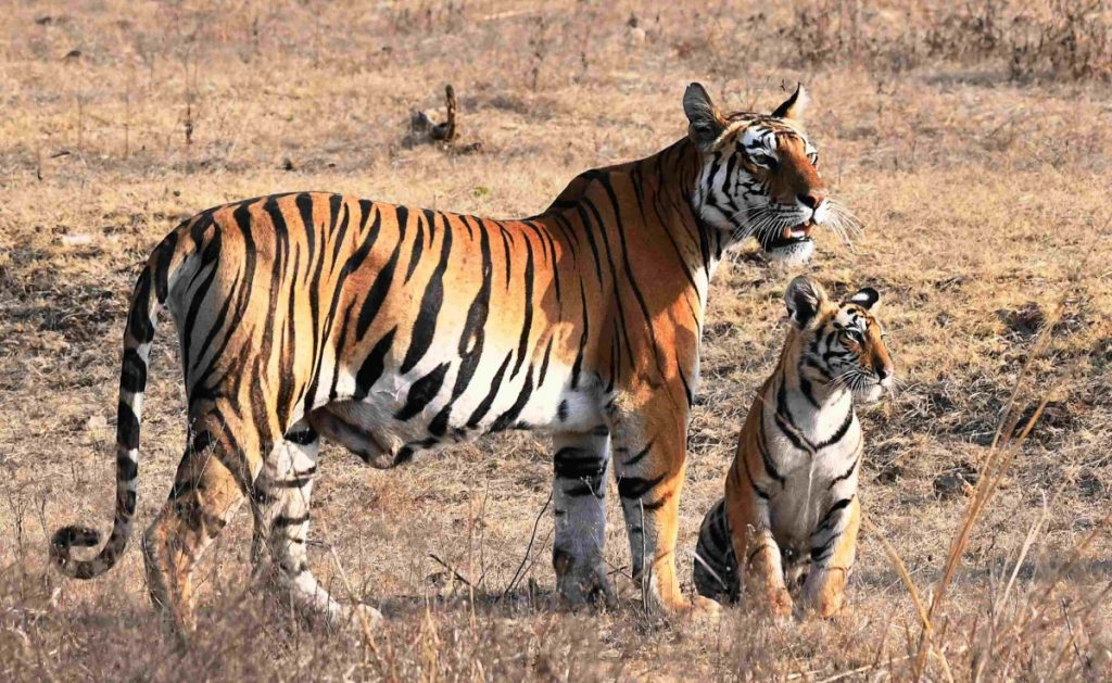 India's tiger population doubles to almost 3000