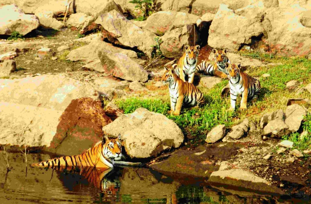 India achieves Tiger Census target 4 years before deadline