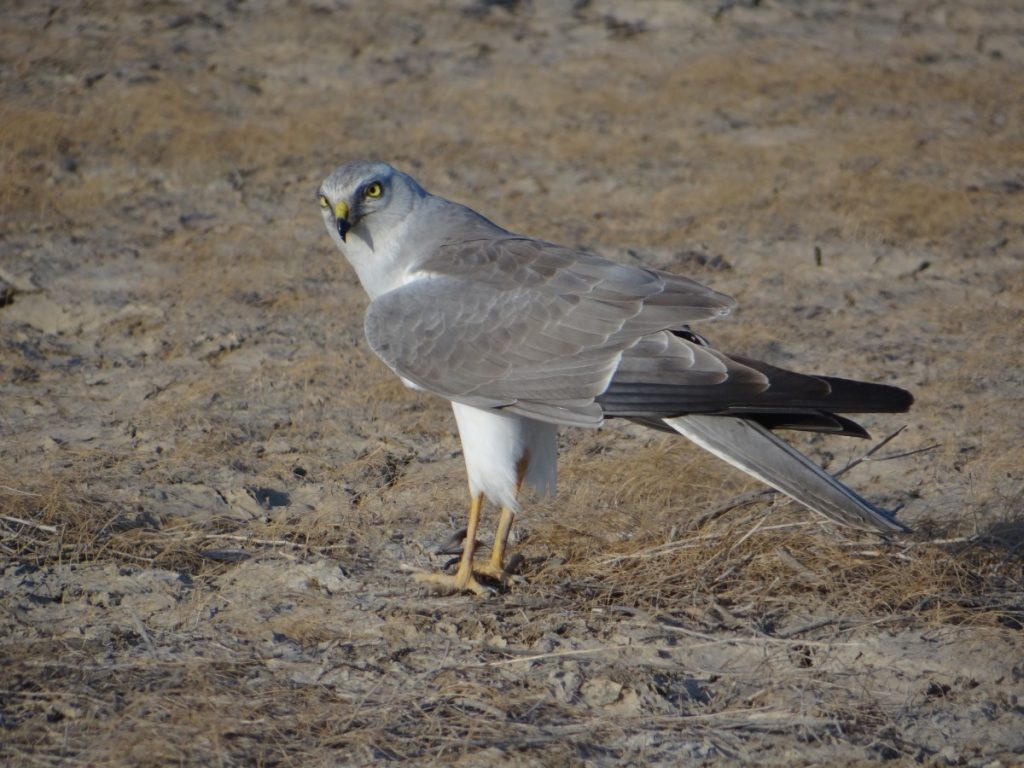 A pallid harrier. Photo: Kadambari Devarajan