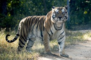 How the Tiger Census Estimated India Now Has 2,967 Tigers