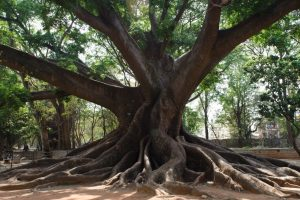 In Bengaluru, 121 Species of Trees Thrive In Sacred Sites, Stand Against March of Urbanisation