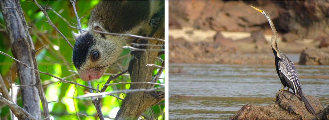 Left: The riverine portion of the forest is home to the endemic grizzled giant squirrel. Right: Water birds like the oriental darter and the cormorant are found in abundance here. Photo: Abhijit Dutta