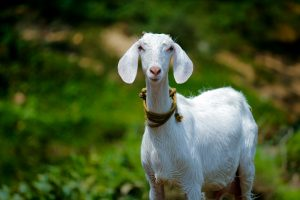 A Goat Just Cost Coal India Rs 2.6 Crore