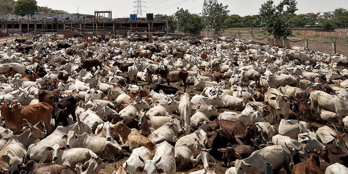 UP Suspends District Magistrate, Five Others for 'Negligence in Cow Protection'