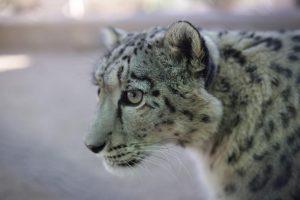 Snow Leopards: Let Curiosity Save the Cat