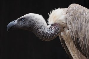 Traditional Medicine, Treatments Now Threaten South Africa's Vultures