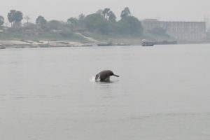 Noise Pollution in the Ganga Is Stressing Its River Dolphins