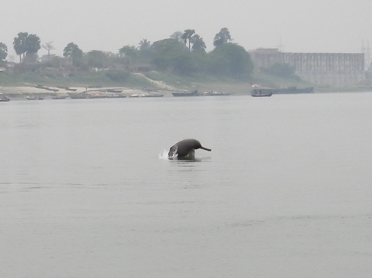 Ganges river dolphin, Gangetic river dolphin, river dolphins, echolocation, high frequency, Buxar Manihari, Bihar, dredging, Jal Marg Vikas Project, Inland Waterways Authority of India, Doriganj, noise pollution, national waterway, ATREE, environment news, Clean Ganga Mission,