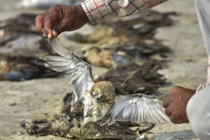Second Lab Report Concludes Avian Botulism Killed Birds Around Sambhar Lake