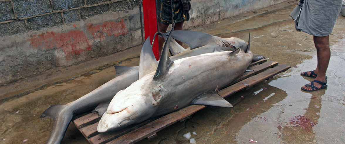 Twenty Years in the Making: Where Is India's National Plan of Action for Shark Fisheries?