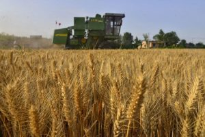 Why Did Chinese Farmers Switch to Wheat?